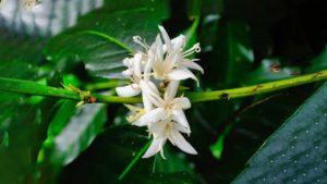 flourishing in the highlands of Honduras