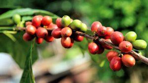 Granos de café maduro